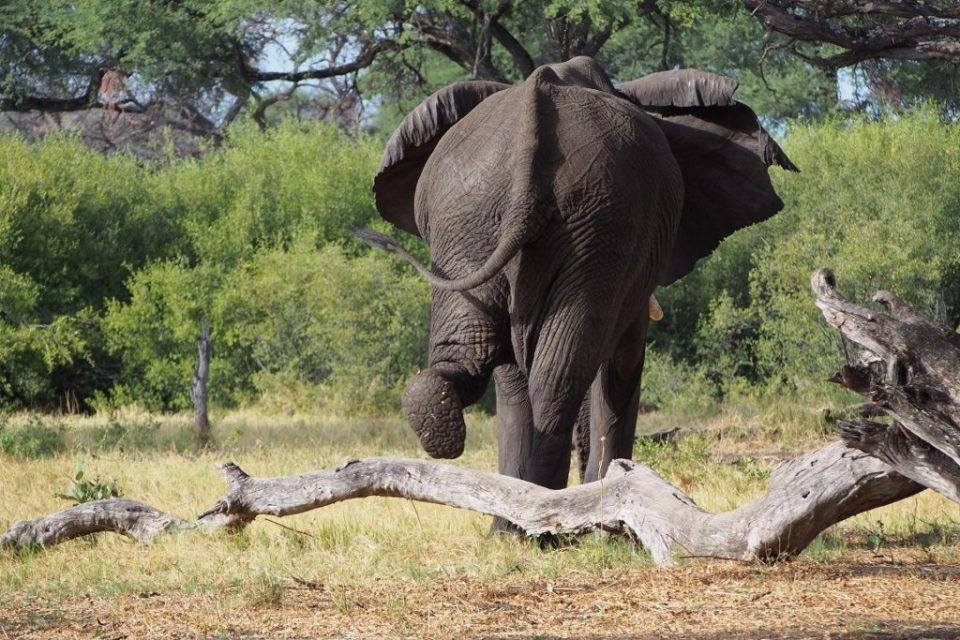 Elephant, Botswana