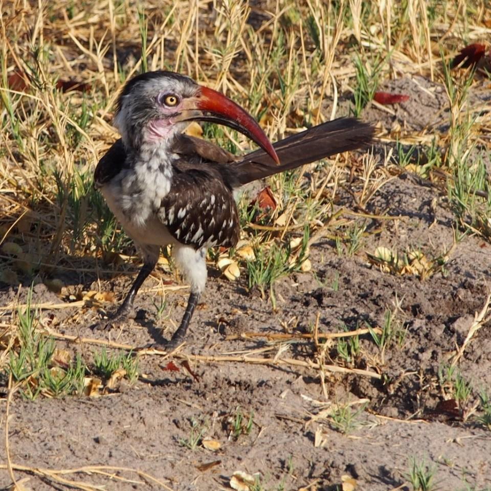 Hornbill, Botswana