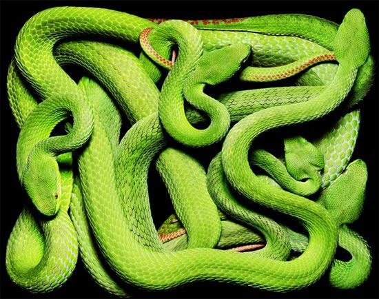 green-cobra