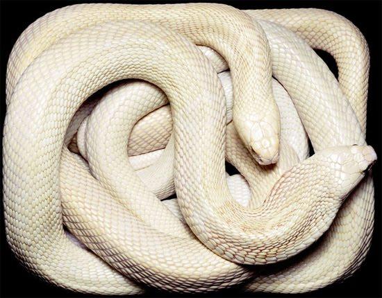white-cobra