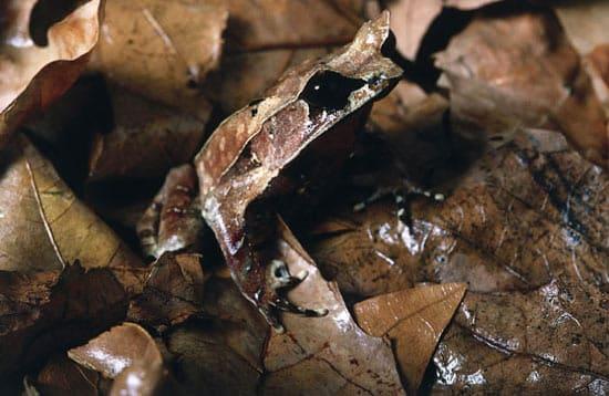 frog-leaf