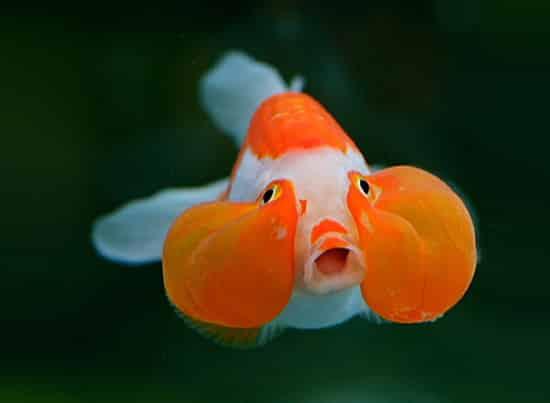 bubble trouble fish