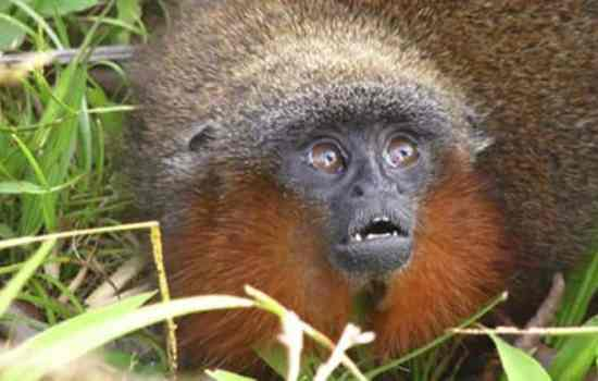 purring monkey