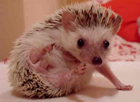 5 Fair Reasons to Get a Hedgehog Pet2