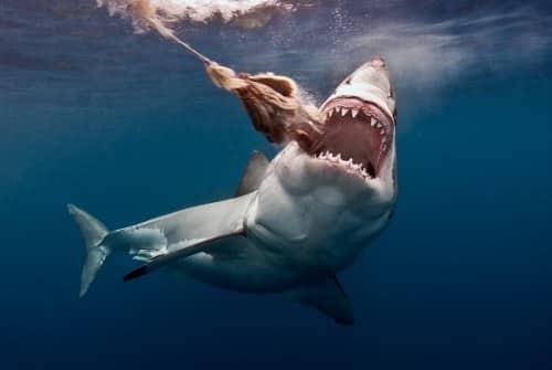 great white shark deadliest shark
