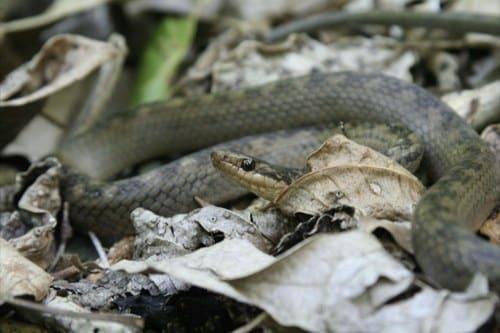 st-lucia-racer snake