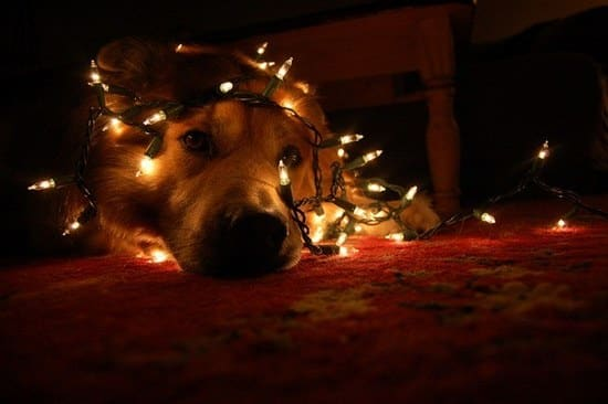 LED Christmas Lights pets are off limits