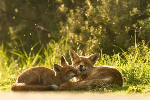 Amazing Facts About Foxes - Their Screams