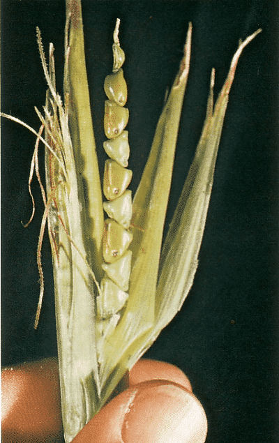 6 Fruits and Vegetables That Looked Way Different Before We Domesticated Them - The Classic North American sweet corn.jpg