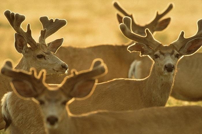 male deers