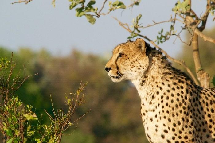 cheetah animal in savanna