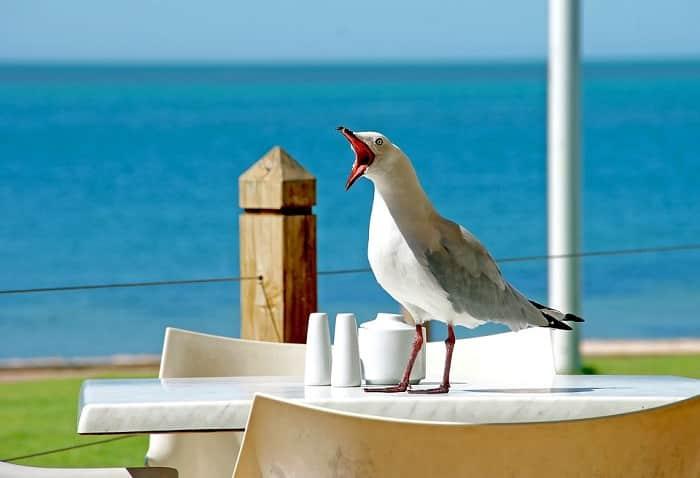 seagull screech