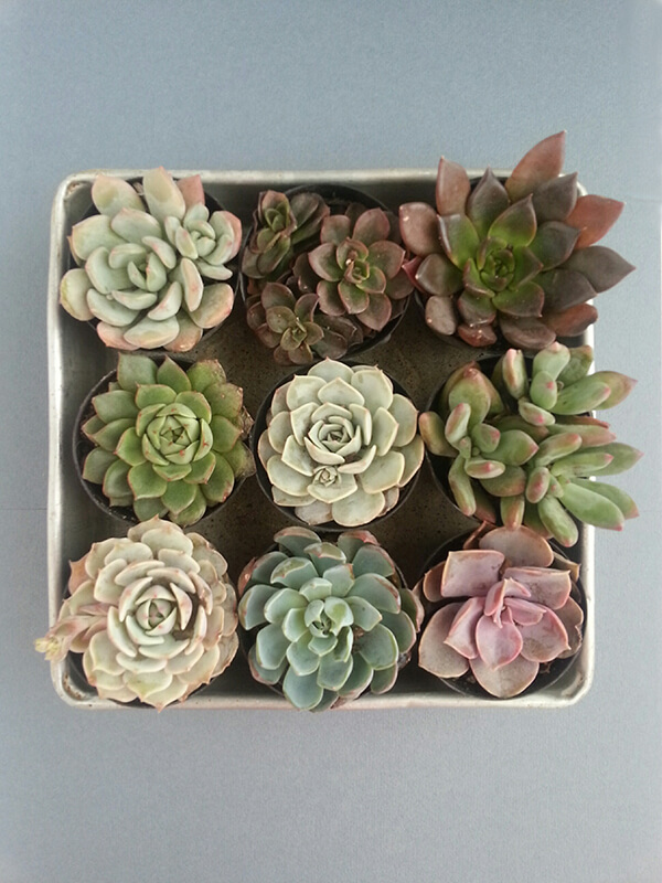 succulents-in-a-tray