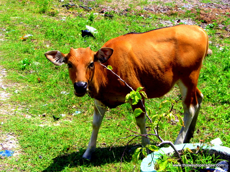 Cow on Gili Air