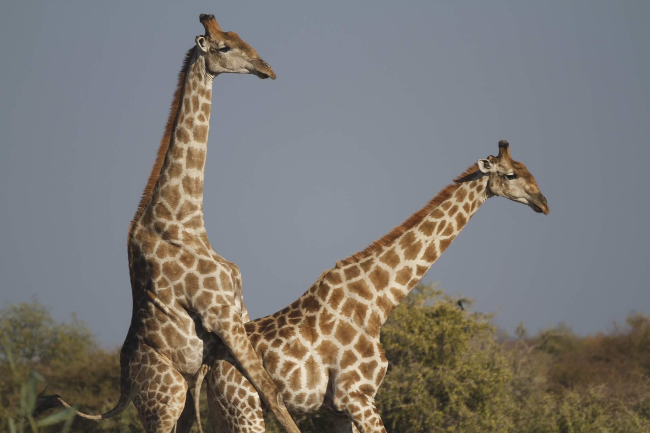 Good Wallpaper Hd 10 Fun Facts About Giraffes