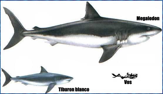 Galeria De Fotos Del Megalodon Tiburonpedia