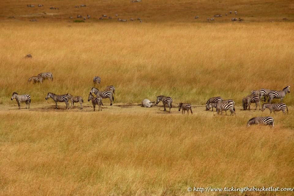 Zebra Salt Lick Masai Mara (1)-1