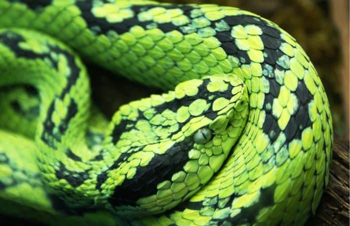 New venomous snake species discovered in Costa Rica \u2013 The Tico Times