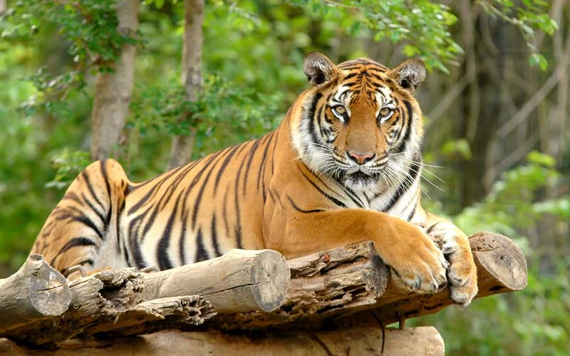 Bengal Tiger Tiger Facts And Information