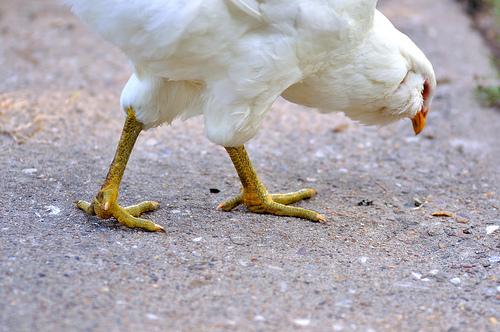 chicken+looking+down.jpg