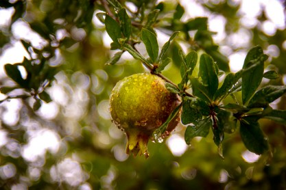 Fruit of the tree