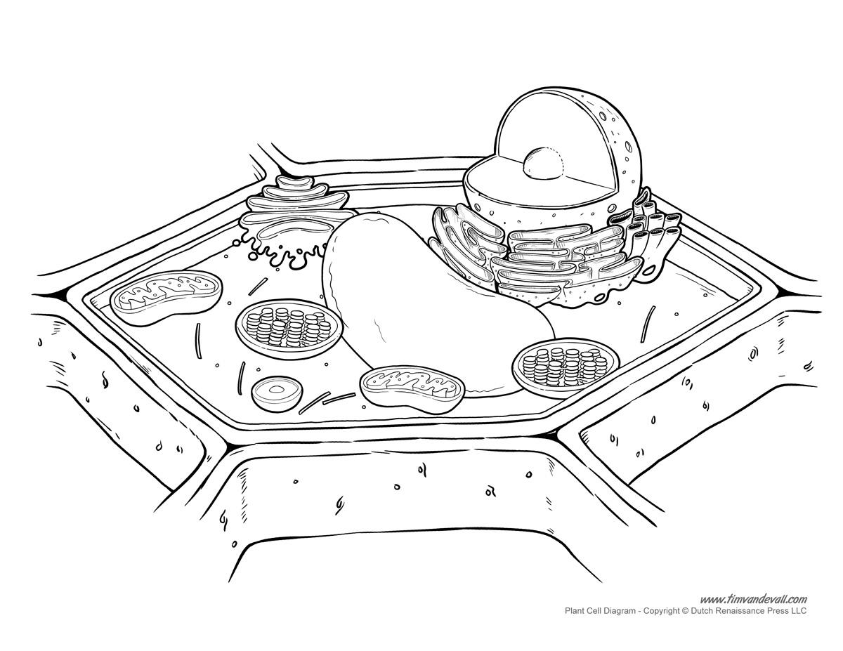cell model diagram