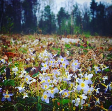 Bluets (Houstonia caerulea) are a subtle body medicine as a flower essence for offering fresh perspective to the jaded mind, soothing comfort in crowded situations, and support for the journeys of grieving and loss. (Windham Co, Vermont)