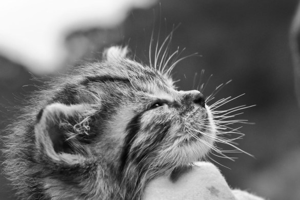 Cute-Kitten-Profile-With-Whiskers