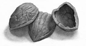 Walnut Shells Drawing