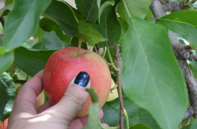 Hand outreached picking an apple that is still attached to the tree.