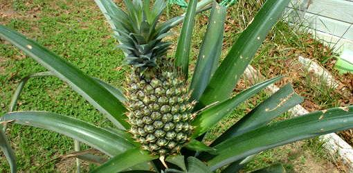 How To Grow Pineapples As Houseplants | Today'S Homeowner