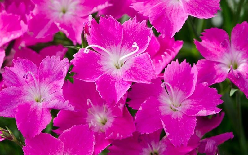 Dianthus Kahori Pinks - 1 Gallon - Shrub, Perennial - Perennial Plants
