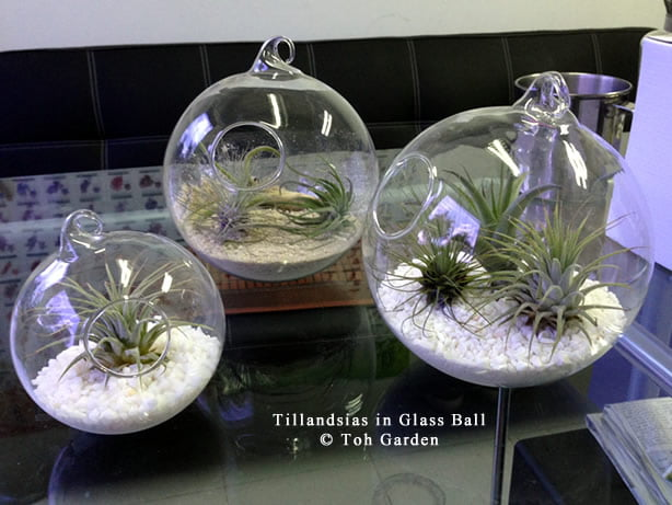 Trendy Office Gift - Tillandsia