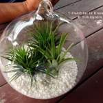 Tillandsia in Glass Ball
