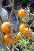 Mexikanische Honigweintomate im Herbst (Bildquelle: Henry)
