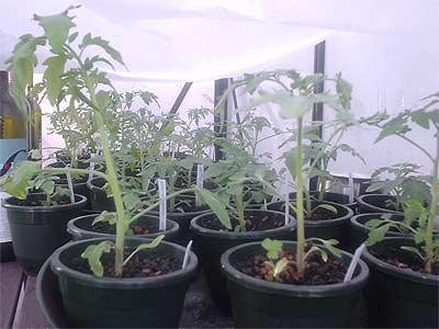 Tomaten am 16.4.2007 (Bildquelle: Henry)