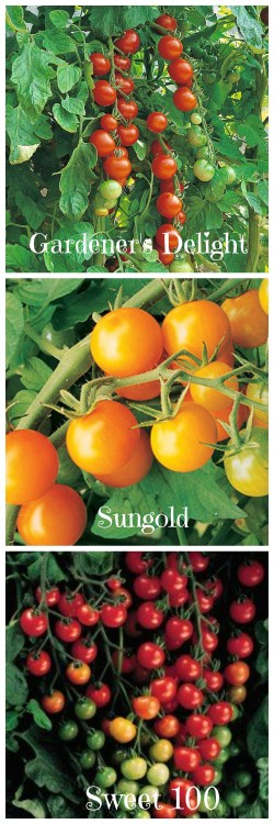 Small Of Sweet 100 Tomato