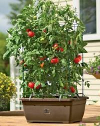 Review: Self-Watering Tomato Planter for Growing Patio ...