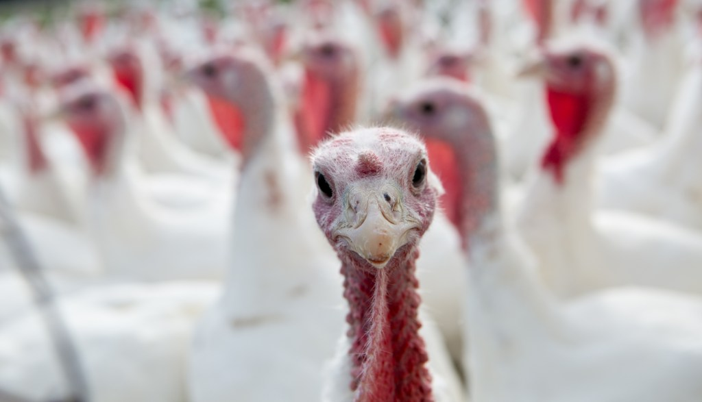 single focus farm turkey in  flock.