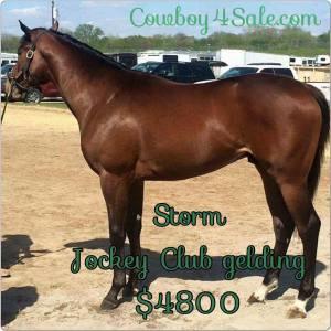 Storm OTTB for sale Cowboy4Sale