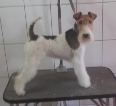 EDS Brussel 2016 wire fox terrier