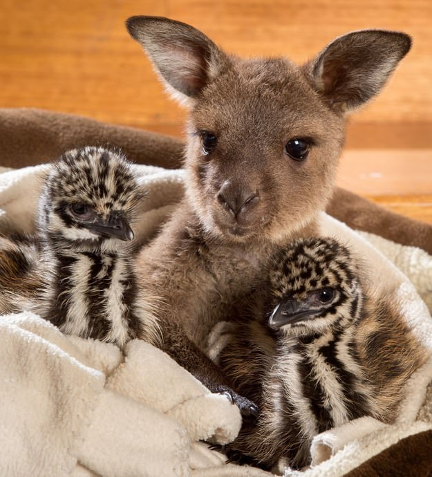 Very Cute Baby Twins Wallpaper Baby Kangaroo And Two Emu Chicks Instantly Connect And