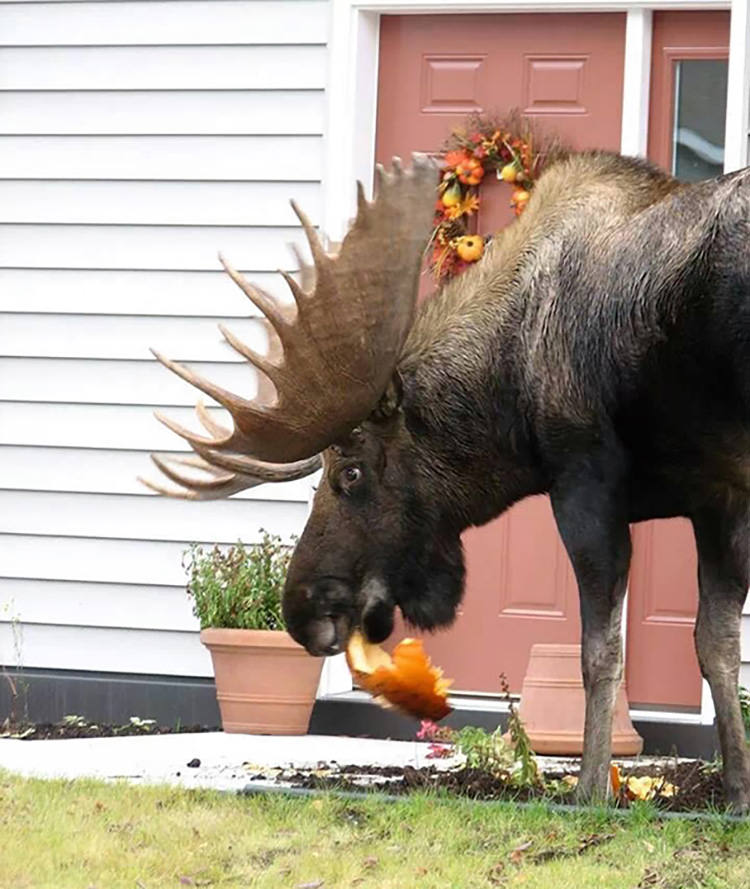 Fall Deer Wallpaper 25 Funny Pictures Of Animals Eating That Will Make Your