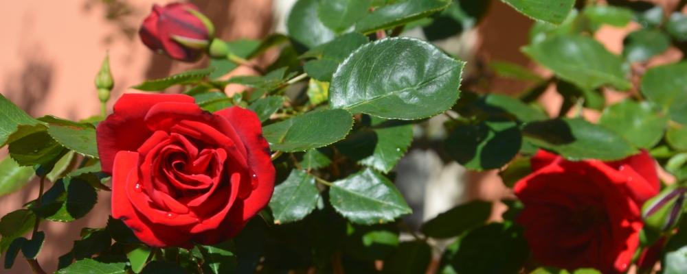 rose, italy, agriturismo, mare, sea