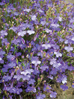 Lobelia 'Monsoon'