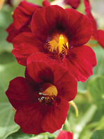 Nasturtium 'Crimson Emperor' - Flower of the Year 2013