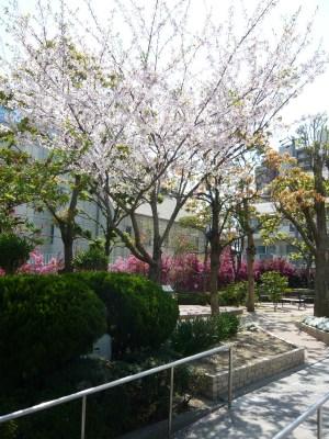 桜と紅花常盤万作