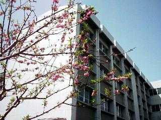 正門左に咲く桃の花
