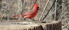 Cardinal at RBG