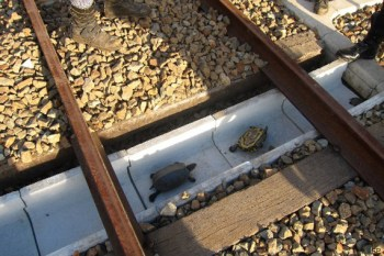 tortues japonaises et voie ferrée